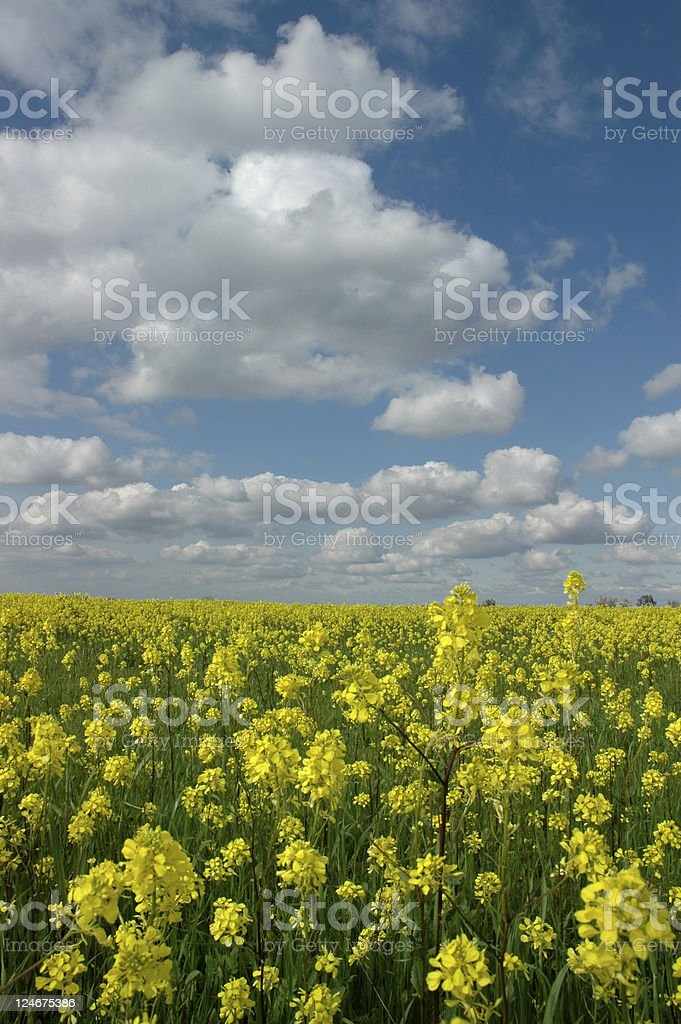 Canola Flowers Under White Clouds stock photo