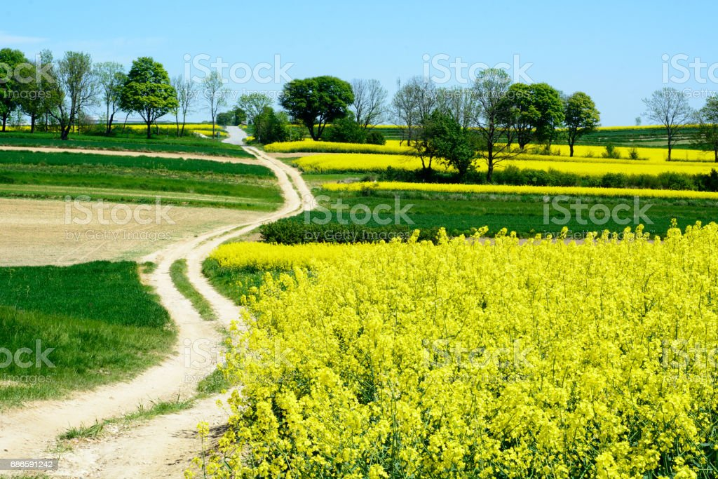 Canola or colza or rape cultivation field with blue sky royalty-free stock photo