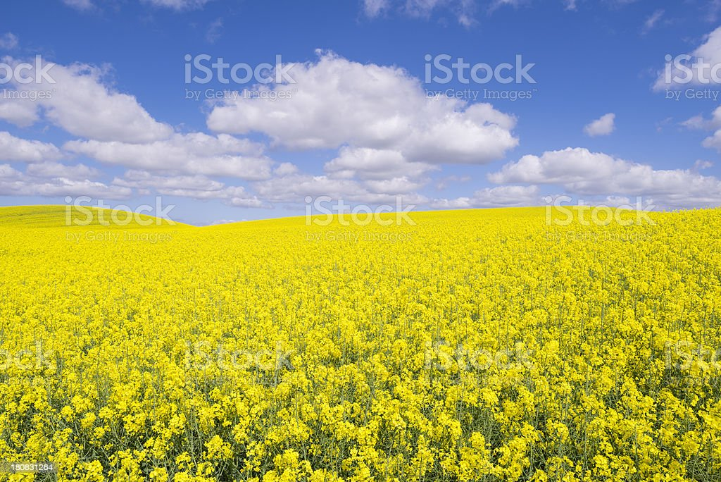 Canola or rape fields with blue sky and clouds (XXXLarge) stock photo