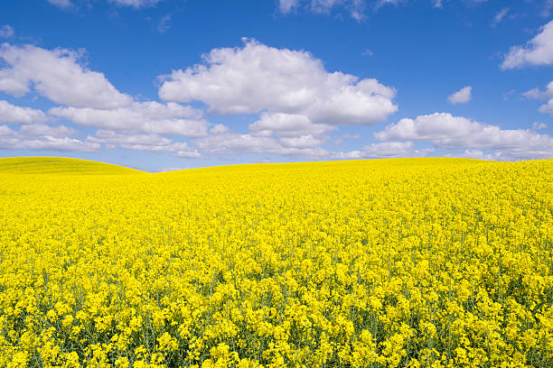Canola or rape fields with blue sky and clouds (XXXLarge) Typical yellow rape filed in the Swedish countryside. canola stock pictures, royalty-free photos & images