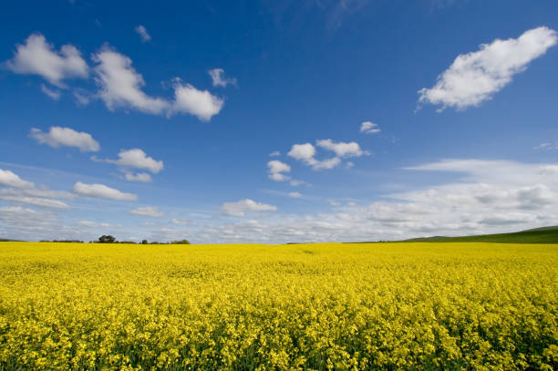 Canola / Rape Seed Field stock photo
