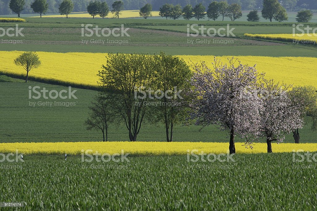 Canola Time in Spring stock photo