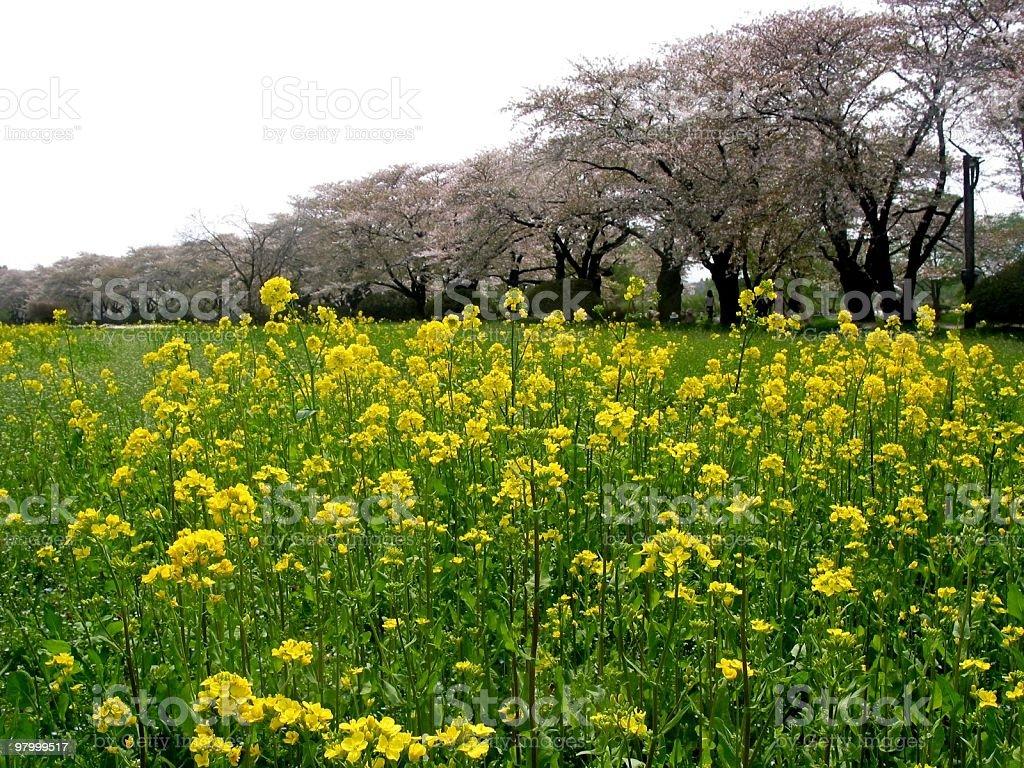 Canolas and sakuras royalty-free stock photo