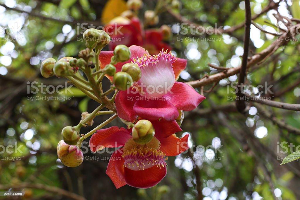 Canonball árbol de flor foto de stock libre de derechos
