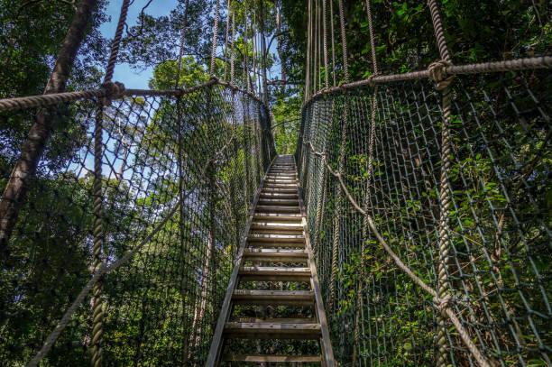 baldachin-brücke in taman negara, malaysia - baumwipfelpfad stock-fotos und bilder