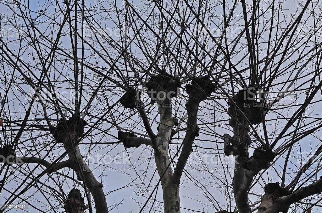 Baldachin aus einer Platane im winter – Foto