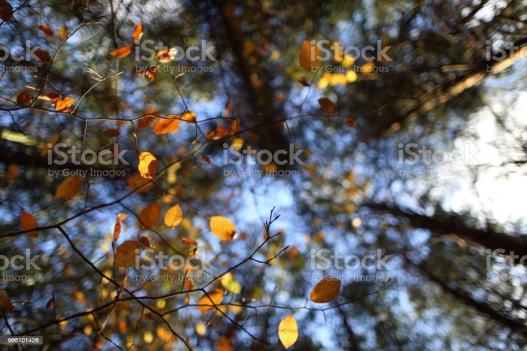 Ett tak av färgglada löv på hösten - Royaltyfri Acaciaträd Bildbanksbilder