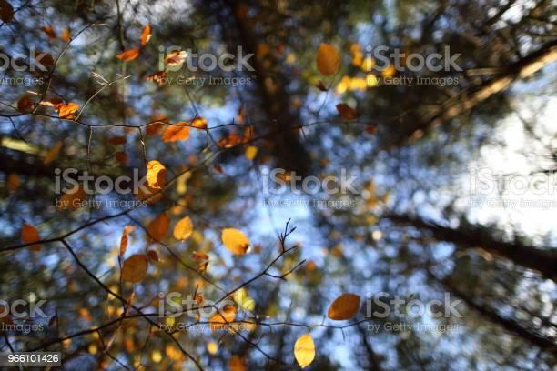 Ett Tak Av Färgglada Löv På Hösten-foton och fler bilder på Acaciaträd