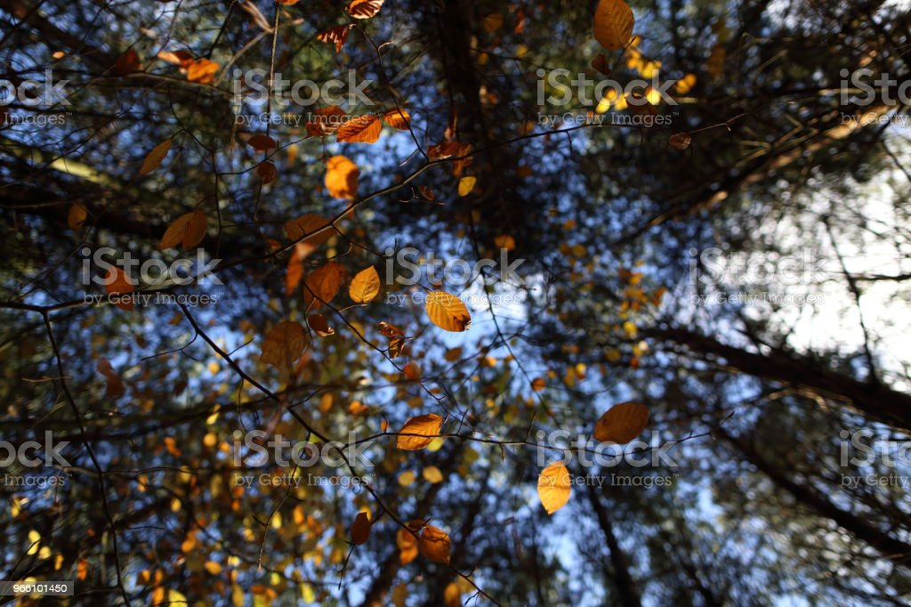 Ein Baldachin aus bunten Blättern im Herbst - Lizenzfrei Ahorn Stock-Foto
