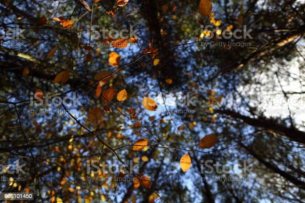 Ein Baldachin Aus Bunten Blättern Im Herbst Stockfoto und mehr Bilder von Ahorn