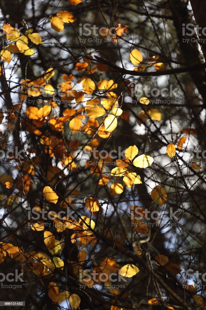 A canopy of colorful leaves in autumn - Royalty-free Autumn Stock Photo