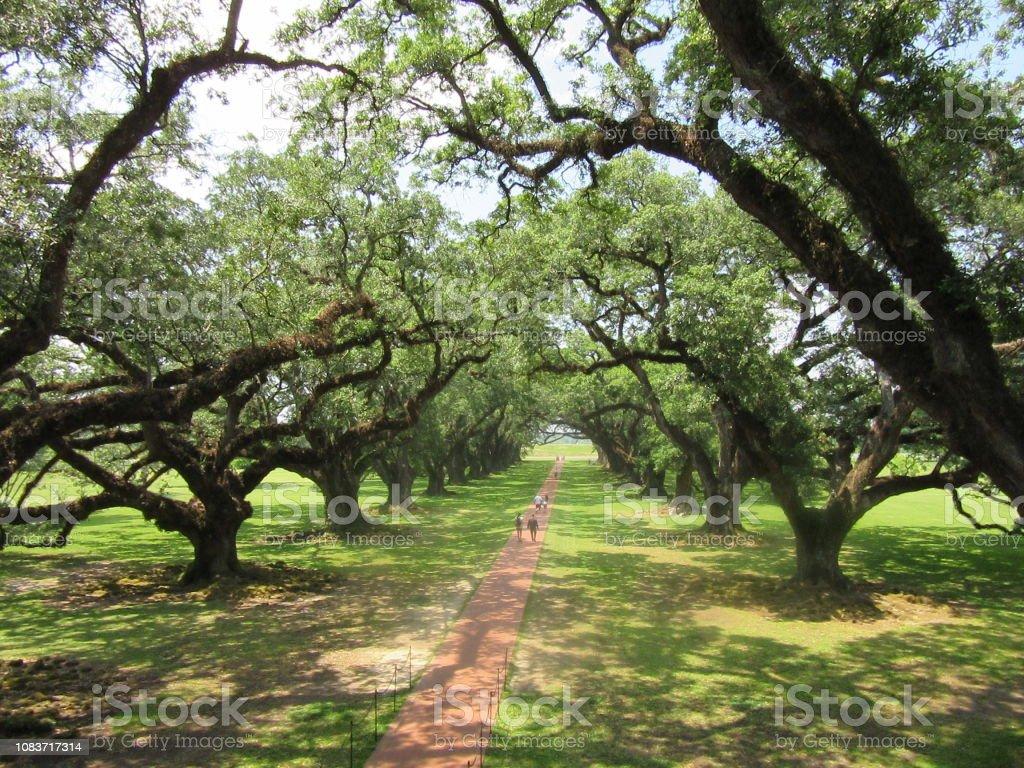 Canopy of Oak Trees Along Pathway stock photo