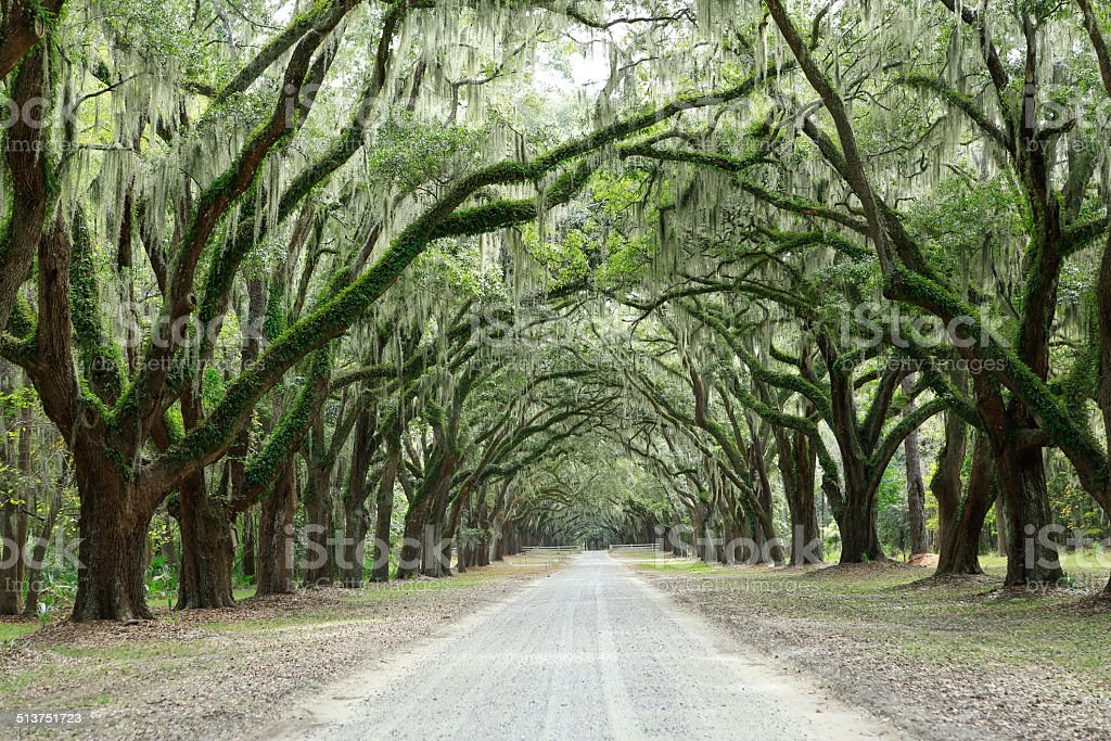 Canopy of oak trees covered in moss. Forsyth Park, Savannah stock photo