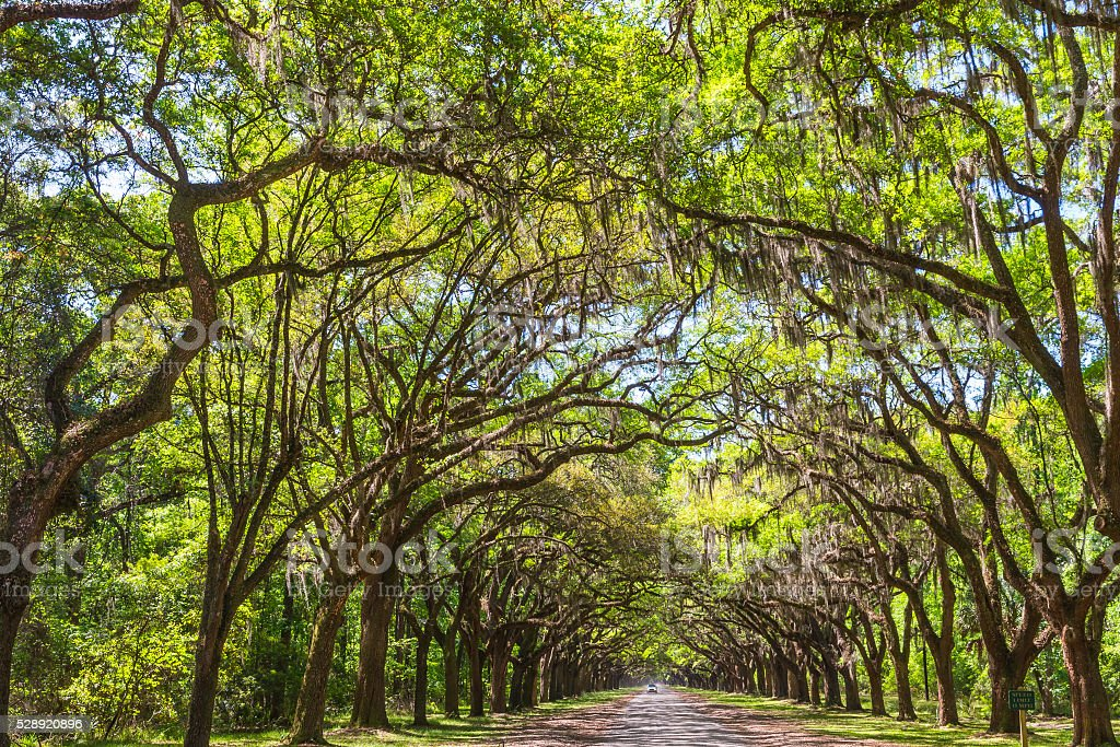 Long road lined with ancient live oak trees draped in spanish moss at...