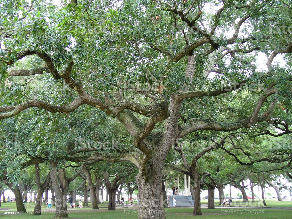 Canopy of Tall, Old Oak Trees stock photo