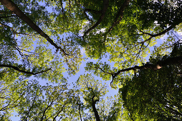 Canopy of Trees in a Forest stock photo