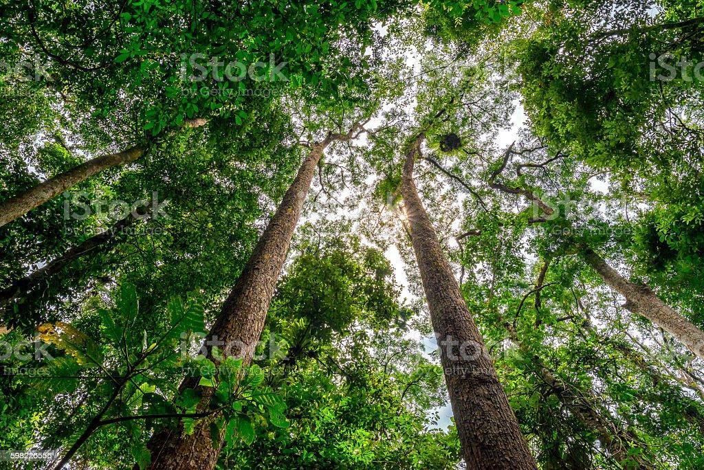 Canopy of tropical rainforest in Tambunan Sabah Borneo, looking upwards foto royalty-free