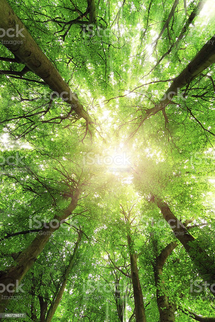 Canopy sunburst stock photo
