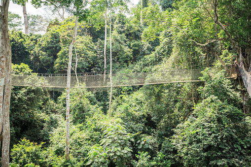 Canopy walkways in tropical rainforest, Kakum National Park, Ghana