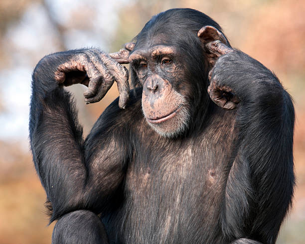 i can't hear you - ape stock pictures, royalty-free photos & images
