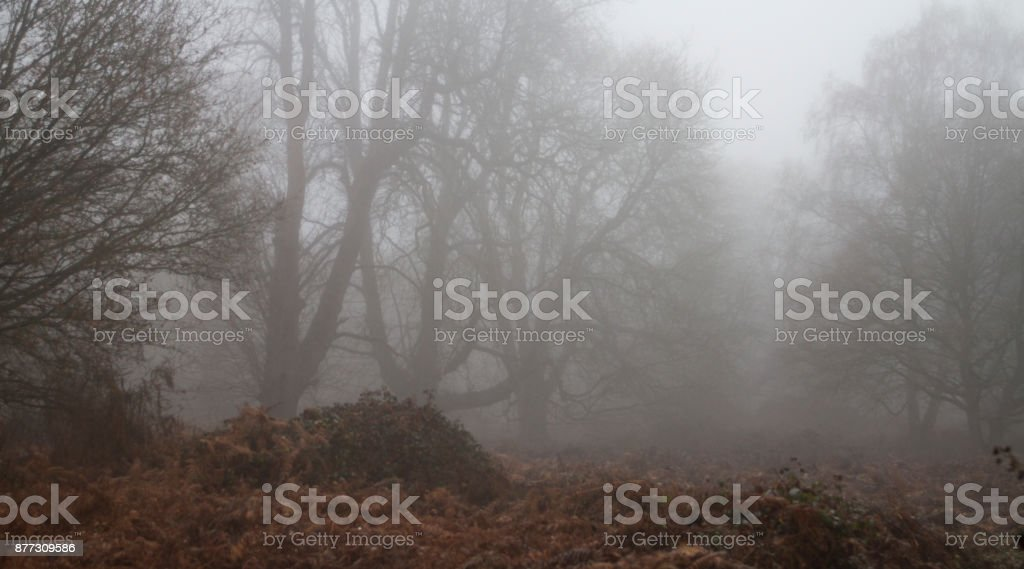Can't see the wood for the trees (or the fog) stock photo