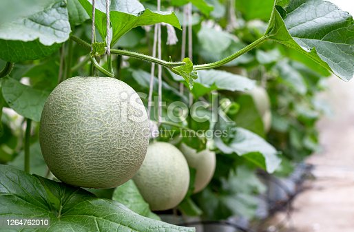 istock Cantaloupe melon is growing in a greenhouse. Melon is a large round fruit of a plant of the gourd family, with sweet pulpy flesh and many seeds. 1264762010