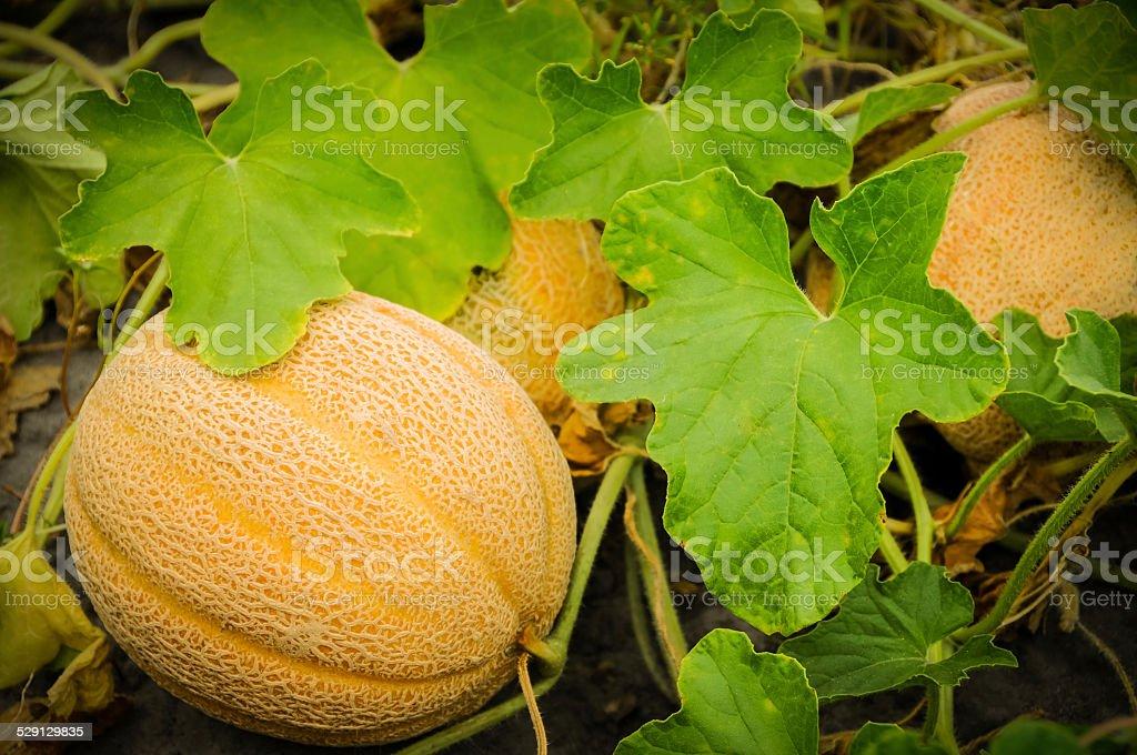 Cantaloupe stock photo