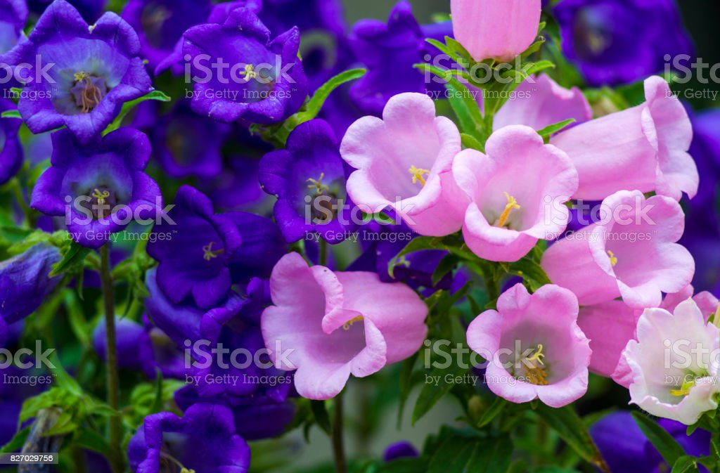 Canterbury bellflower . blue bell flower (campanula) stock photo