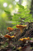 Cantharellus cibarius, commonly known as the chanterelle, golden chanterelle or girolle