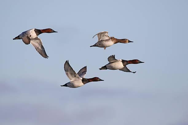 Canvasback Ducks stock photo