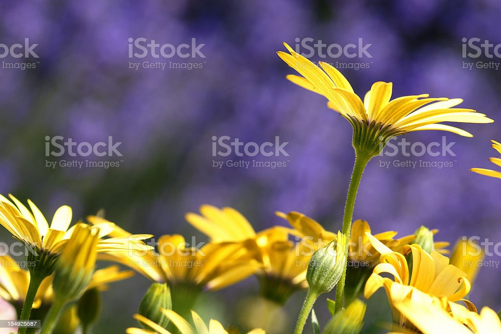 cape aster in the counter-light stock photo