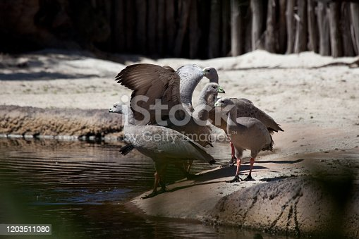 A gaggle of Cape Barren Geese - Cereopsis novaehollandiae. The Cape Barren goose is a large goose resident in southern Australia. The species is named for Cape Barren Island, where specimens were first sighted by European explorers.
