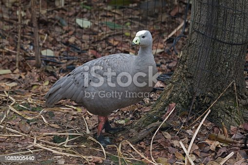 A Cape Barren Goose, Cereopsis novaehollandiae