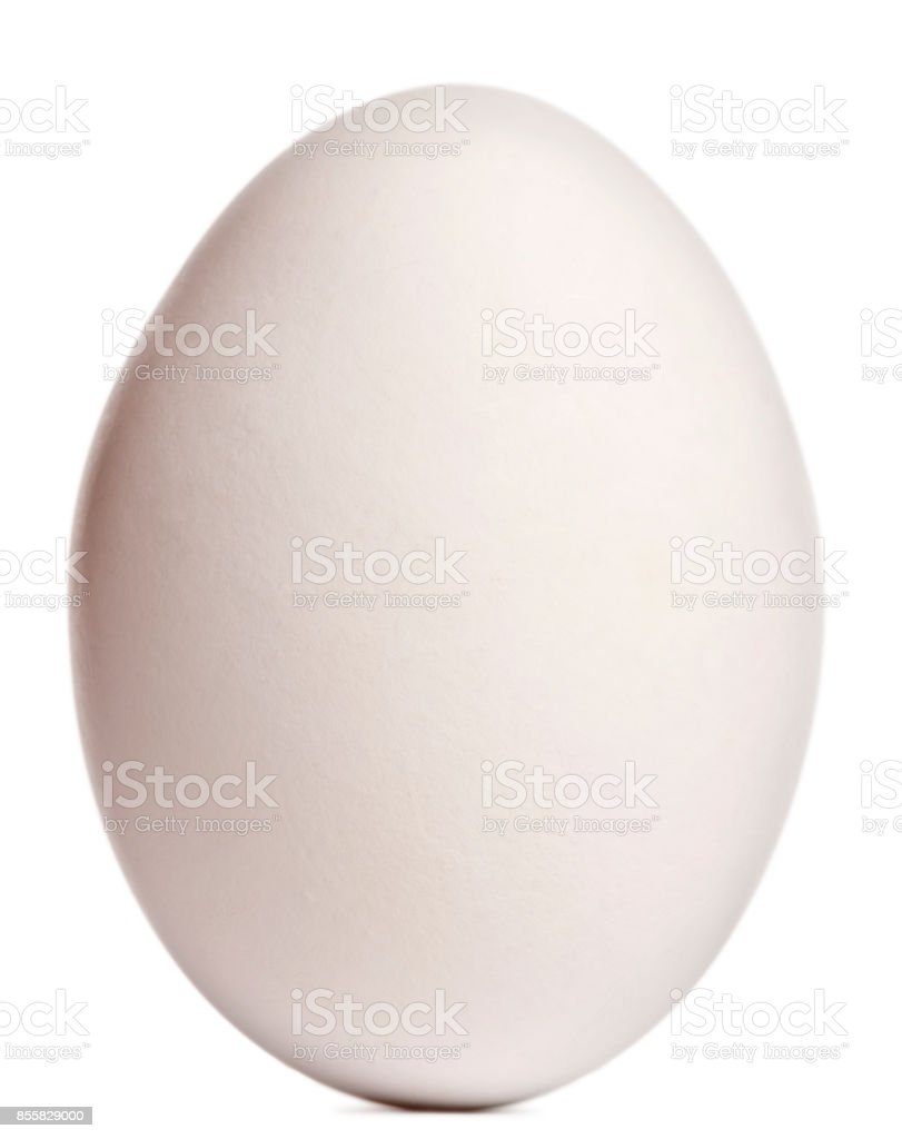 Cape Barren Goose egg, Cereopsis novaehollandiae, in front of white background stock photo
