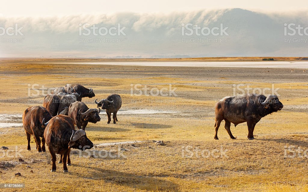 Cape Buffalo and Mist Coming Over Ngorongoro Crater, Africa stock photo