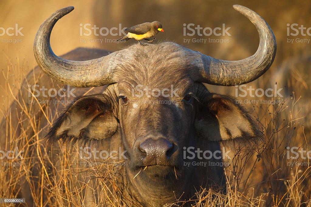 Cape Buffalo and Yellow Billed Oxpecker, Ngorongoro Crater, Tanzania Africa zbiór zdjęć royalty-free