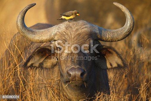 istock Cape Buffalo and Yellow Billed Oxpecker, Ngorongoro Crater, Tanzania Africa 620380024