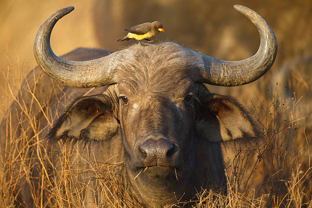 cape buffalo and yellow billed oxpecker, ngorongoro crater, tanzania africa - afrikaanse vogel stockfoto's en -beelden