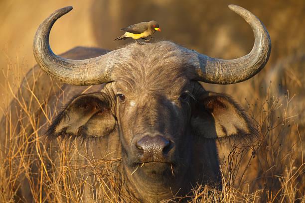Cape Buffalo and Yellow Billed Oxpecker, Ngorongoro Crater, Tanzania Africa stock photo