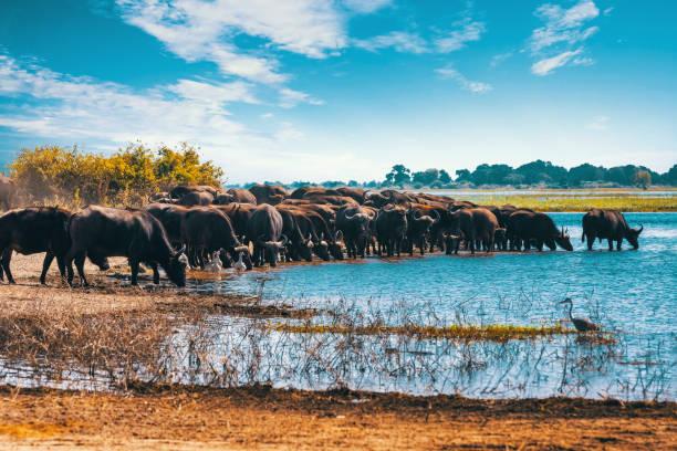 Cape Buffalo at Chobe river, Botswana safari wildlife stock photo