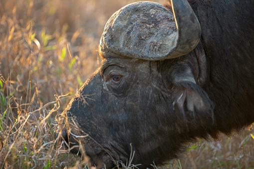 Otlatma Cape Buffalo Boğa Stok Fotoğraflar & Afrika Mandası'nin Daha Fazla Resimleri