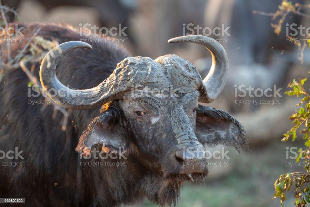 Cape Buffalo bull - Royalty-free African Buffalo Stock Photo