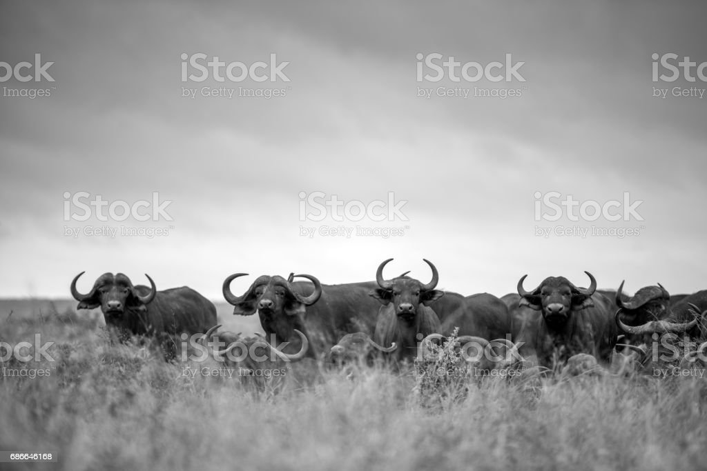 Cape Buffalo Herd royalty-free stock photo
