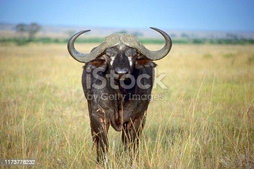 Cape Buffalo (Syncerus caffer) is a bovid from the family of the Bovidae. Masaai Mara Reserve, Kenya