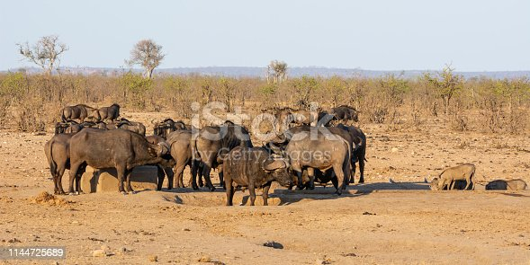 Cape Buffalo at a busy watering hole in Southern African savanna
