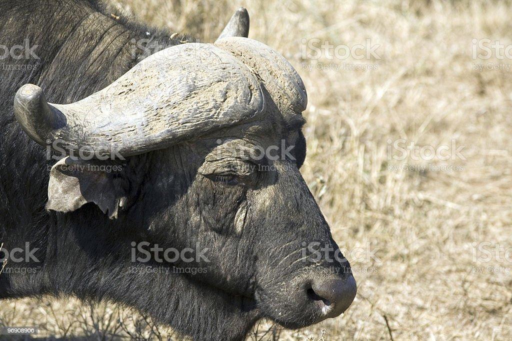 Cape Buffalo royalty-free stock photo