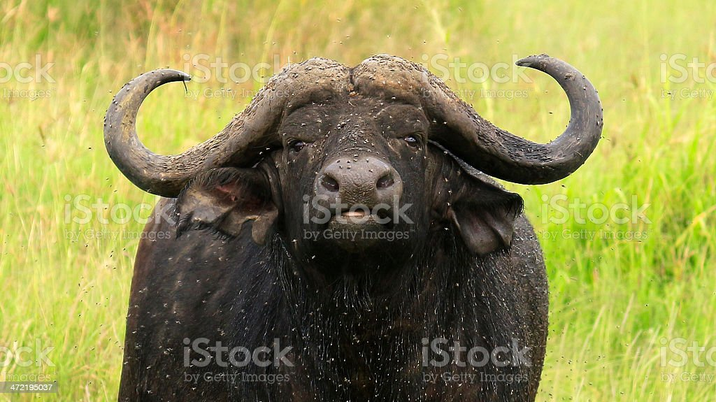 Cape Buffalo surrounded by flies stock photo