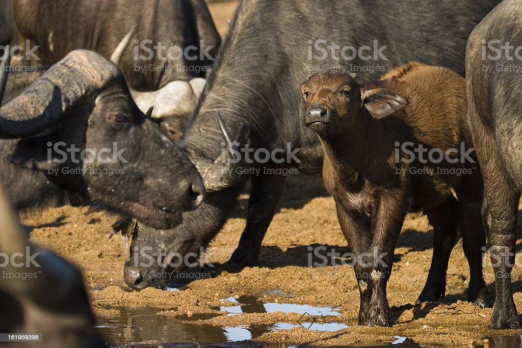 Cape Buffalo with calf drinking at water hole stock photo