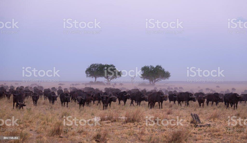 Cape buffaloo herd, Chobe National Park, dusk royalty-free stock photo