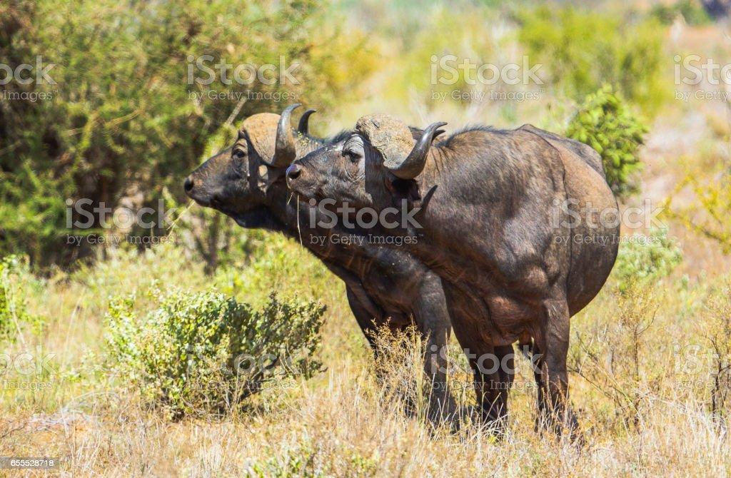 Cape Buffalos  in Tsavo East National Park in Kenya. stock photo